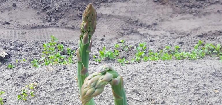 Neben weißem Spargel wird auch grüner Spargel angebaut
