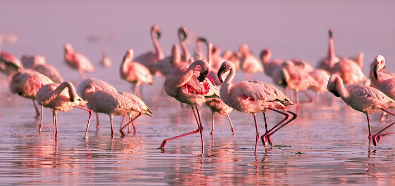 Flamingos im Zwillbrocker Venn bei Vreden
