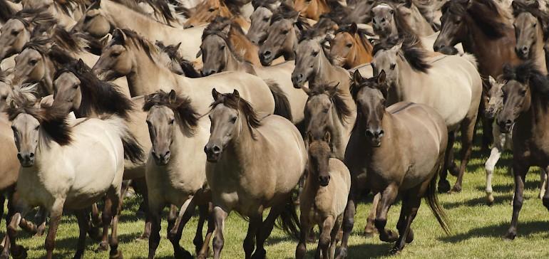 Wildpferde im Merfelder Bruch in Dülmen